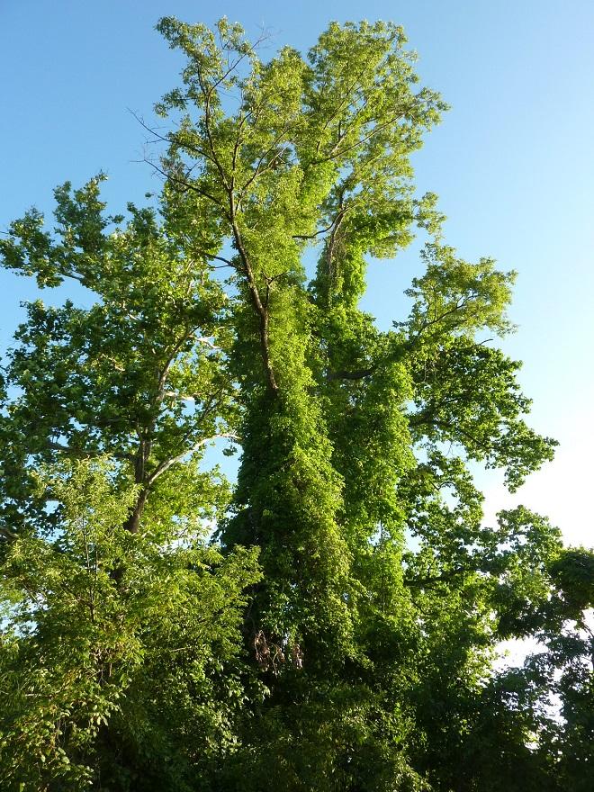 TREES_100FT
