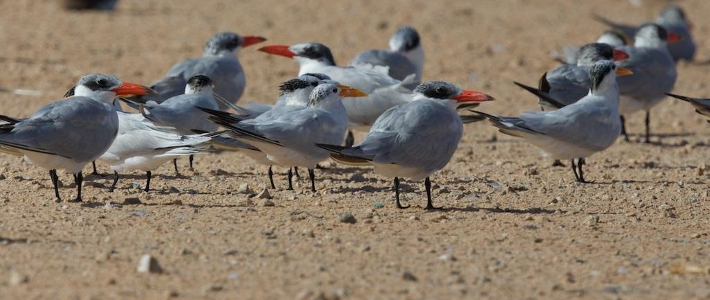 bhuse_birds_dahkla