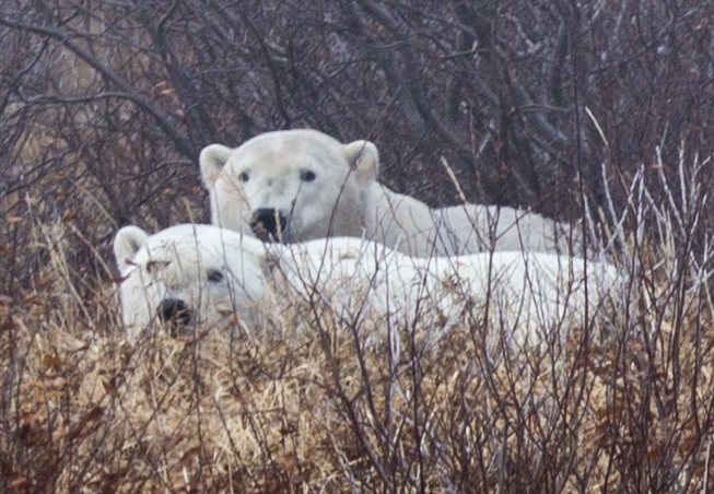 2014-polar-bear-viewing